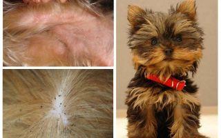 Πώς να αφαιρέσετε τους ψύλλους από το Yorkshire terrier