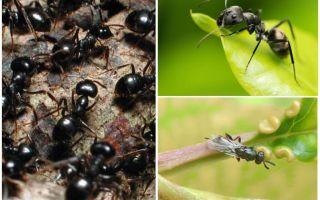 Είδη μυρμηγκιών στη Ρωσία και τον κόσμο
