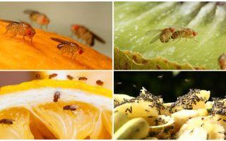 Drosophila Mlies