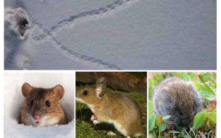 Ίχνη ποντικών στο χιόνι