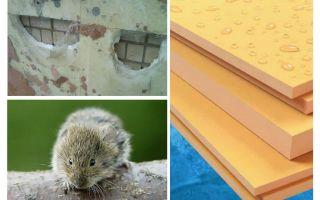 Τα ποντίκια τρώνε αφρό πολυστερίνης εξωθημένο
