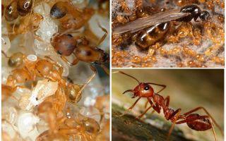 Μυρμήγκια Φαραώ