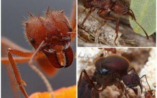 Ψαλίδια φύλλων μυρμηγκιών