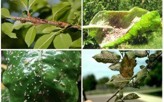 Πώς να απαλλαγείτε από αφίδες στα δέντρα