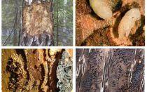 Πώς να χειριστείτε το σκαθάρι του φλοιού σε ένα ξύλινο σπίτι