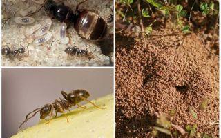 Κήπος μαύρα μυρμήγκια