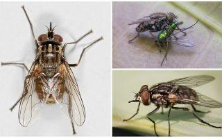 Περιγραφή και φωτογραφία της fly fly zhigalki