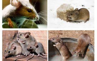 Ενδιαφέρουσες πληροφορίες για τα ποντίκια