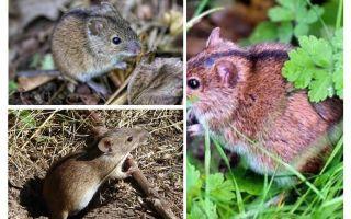 Πεδίο ποντίκια