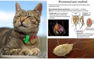 Συμπτώματα και θεραπεία της Giardia σε γάτες