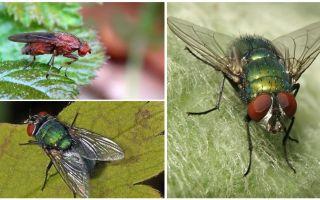 Περιγραφή και φωτογραφία της μύγας