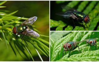 Περιγραφή και φωτογραφία της πράσινης μύγας