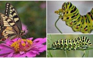 Περιγραφή και φωτογραφία της κάμπιας της πεταλούδας Machaon