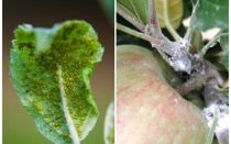 Πώς να απαλλαγείτε από αφίδες στις μηλιές