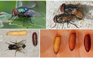 Πώς εμφανίζονται οι μύγες