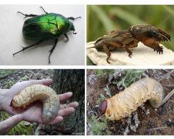 Ποια είναι η διαφορά μεταξύ των προνυμφών της αρκούδας και του May beetle