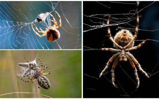 Καθώς ο αράχνης υφαίνει ιστό