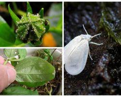 Πώς να απαλλαγείτε από το whitefly στα εσωτερικά λουλούδια