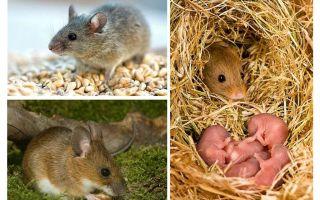 Η διάρκεια ζωής των ποντικών