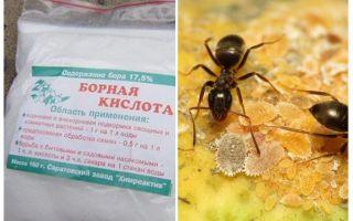 Βορικό οξύ κατά των μυρμηγκιών στο διαμέρισμα και τον κήπο