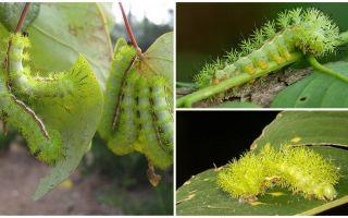 Περιγραφή και φωτογραφίες επικίνδυνων δηλητηριωδών κάμπιων