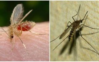 Ποια είναι η διαφορά ανάμεσα στα κουνούπια και τα κουνούπια;