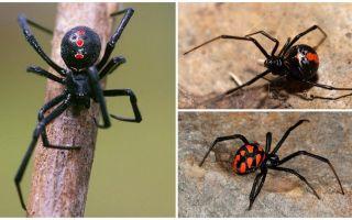 Ποικιλίες φωτογραφιών αράχνης με ονόματα και περιγραφές