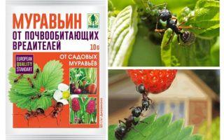 Μυρμήγκια 10g από τα μυρμήγκια: οδηγίες χρήσης και σχόλια