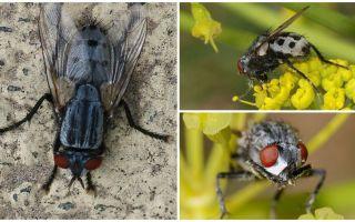 Περιγραφή και φωτογραφία wolfarth μύγες
