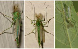 Κουνούπια πράσινου κουδουνιού (κουνούπια)