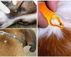 Τσίμπημα σε σκύλο - συμπτώματα, αποτελέσματα και θεραπεία στο σπίτι