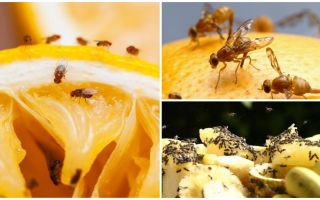 Πώς να απαλλαγείτε από τις μύγες φρούτων στο κατάστημα της κουζίνας και λαϊκές θεραπείες
