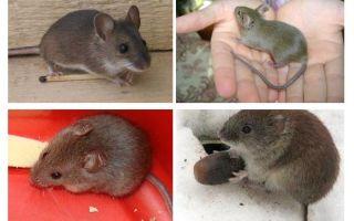 Οικιακά ποντίκια