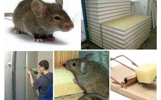 Τα ποντίκια περιπλέκουν τα φύλλα όρνιθας