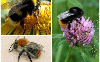 Τι μοιάζει με ένα bumblebee;