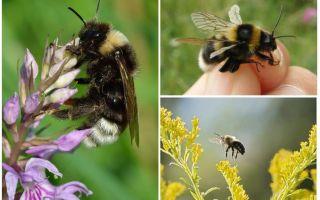 Γιατί το μέλισσα δεν μπορεί να πετάει σύμφωνα με τους νόμους της φυσικής