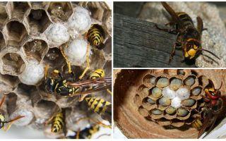 Πώς να αφαιρέσετε τη φωλιά του hornet