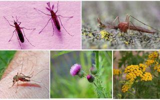 Τι τρώει τα αρσενικά και τα θηλυκά κουνούπια