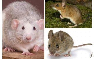 Δομή ποντικιού