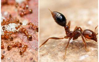 Πώς να απαλλαγείτε από τα μικρά κόκκινα μυρμήγκια σε ένα διαμέρισμα
