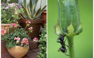 Πώς να αφαιρέσετε τα μυρμήγκια από μια γλάστρα