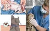 Πώς να απαλλαγείτε από τους ψύλλους σε γάτα ή γάτα στο σπίτι