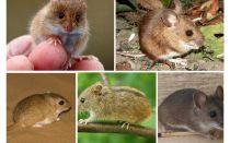 Είδη και είδη ποντικών
