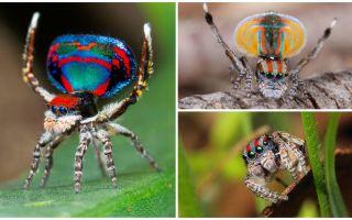 Περιγραφή και φωτογραφία της αράχνης παγώνι