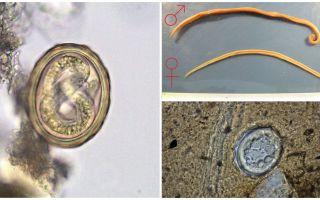 Το σχήμα του κύκλου ζωής της ανάπτυξης του ανθρώπινου γύρου