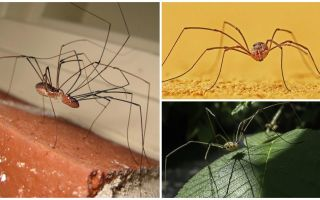 Spider χόρτα με μακριά λεπτά πόδια