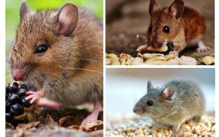 Τι ποντίκια τρώνε
