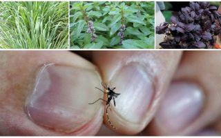 Ποια φυτά απωθούν τα κουνούπια: γρασίδι, δέντρα και λουλούδια