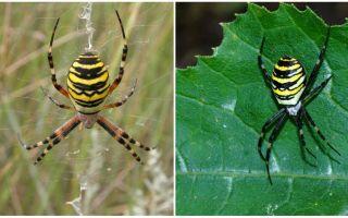 Spider σφήνα με κίτρινες ρίγες στην πλάτη