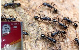 Μέσος Thunder 2 από τα μυρμήγκια
